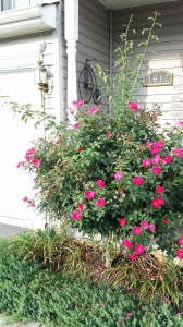 Time to Prune my Rose Bush!